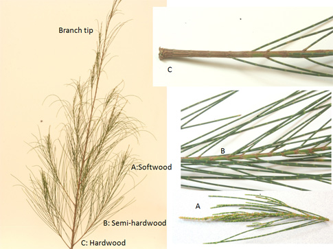 Fig. 1.  A typical branch (left) of Casuarina showing the tip which is normally suitable for harvesting cuttings, and the lateral branches often noted in the literature as better sources of cuttings.  Illustrated above are cuttings taken from one lateral branch and identified as to type.  The softwood cutting (A) has a green stem that is literally softer to the touch than other places along the branch stem.  The hardwood cutting (C) has a well-rounded stem that is brown and hard to the touch.  The semi-hardwood cutting (B) is intermediate in those characteristics.