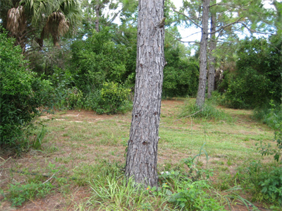Fig. 3.  Slash pine trees were planted 25 x 25 feet.  They have survived and have grown well since 1989.