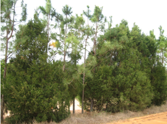 Fig. 2.  A single-row mixture of topped slash pine and red cedar trees planted in 1985.