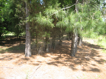 Fig. 3.  Close-up view of a windbreak row showing two rows of pines planted 4 x 8 feet with a later-planted row of southern red cedar adjacent to the left-hand pine row.  Notice the layer of pine needles that apparently is an effective mulch for weed control.