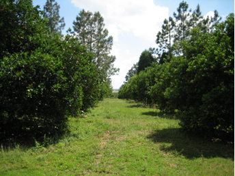 Fig. 4.  Looking south perpendicular to the citrus and windbreak rows.