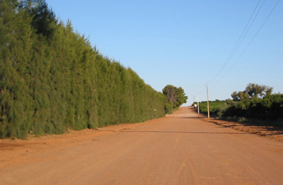 Fig. 2. A row of Casuarina plants that have been hedged to encourage vertical growth.