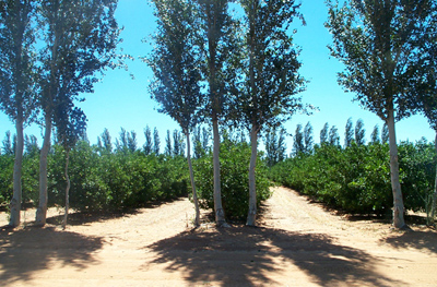 Fig. 3. A novel windbreak arrangement using sets of three poplar trees planted at the ends of each grove row. This arrangement is often used when there is insufficient space within a grove for full windbreaks rows.