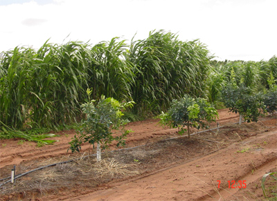 Fig. 6. A sorghum windbreak about 2 years after planting alongside a new grove of citrus trees.