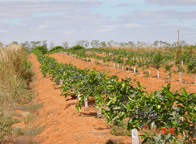 Fig. 7. The row of citrus trees in the center of the photo is adjacent to a sorghum windbreak. Compare their appearance and growth with the trees further to the rear in the photo.
